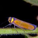 Sharpshooter planthopper