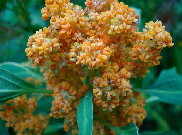 Addt'l info:---Quinoa is a great food for people who must follow wheat-free/gluten-free diets because...