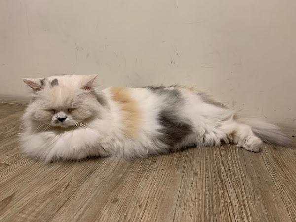 和貓咪有約貓咪主題咖啡館 - 被貓咪環繞著充分治癒