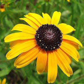 black Eye by Gordana Cajner - Flowers Single Flower (  )
