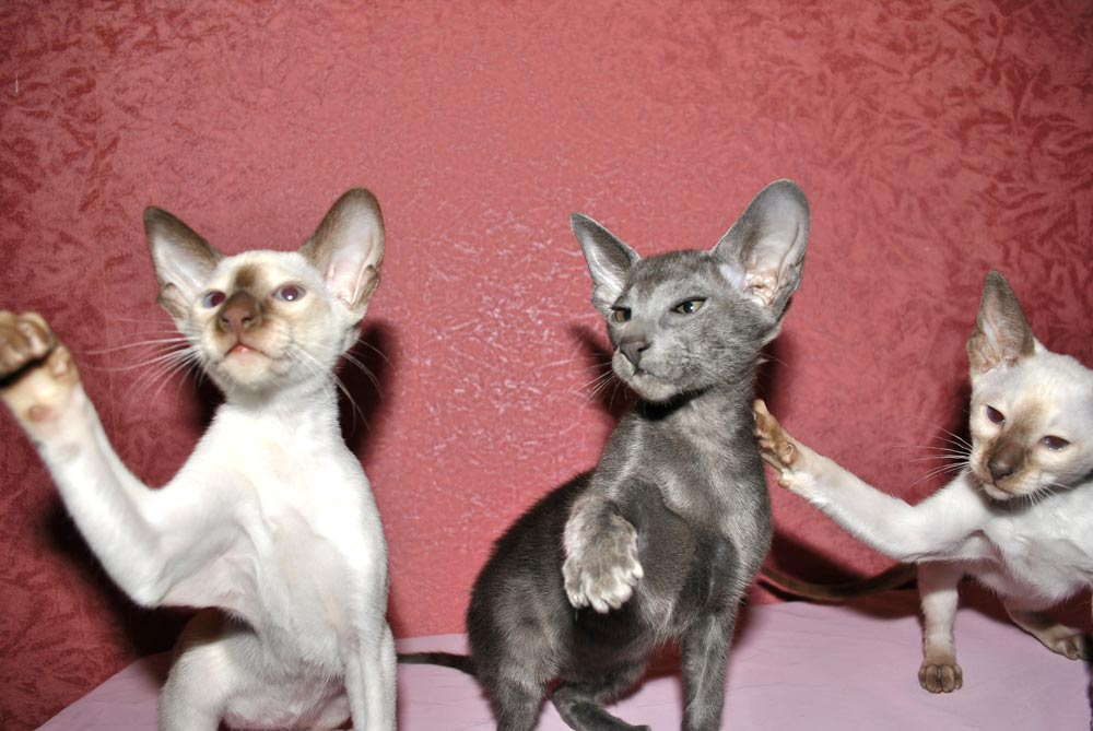 Siamese and Oriental kittens are very often born in the same litter. This fact perplexes ordinary people who are not experts in genetics, and raises many questions. Source: https://cataristocrat.com