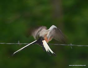 Photo: Scissor-tailed Flycatcher, near Lake Conroe, East Texas