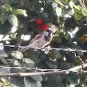 Gorrión Doméstico/ House Sparrow