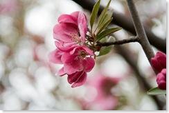 cherry-blossom-tree-flowers