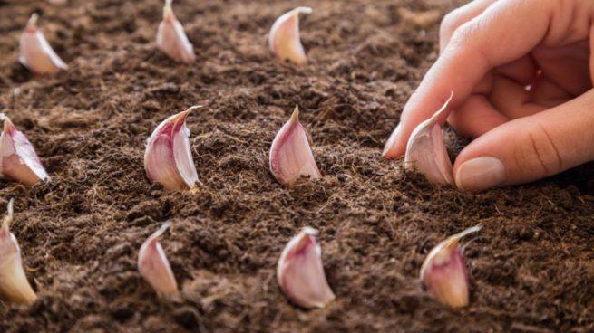 """Resultat d'imatges per a """"plantar ajos"""""""