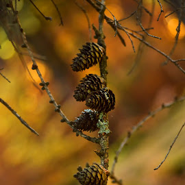 Emotion .. by Mikaela Dana - Nature Up Close Trees & Bushes ( tree, autumn, outdoor, cones, colours )
