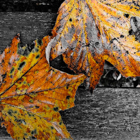color of leave  by Adrian Konopnicki - Nature Up Close Leaves & Grasses ( fall leaves on ground, autumn leaves park nature black and white color, noir, fall leaves, pwcfallleaves, nature, park, color, autumn, bunch )
