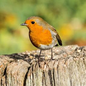 robin by Sean Kirkhouse - Animals Birds ( bird, robin )