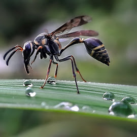 Wasp and drops by Rui Santos - Instagram & Mobile Android ( wasp, amazon, bugs, samsung, drops, abaetetuba, brazil, pará, bug, mobile, cell phone, telemóvel,  )
