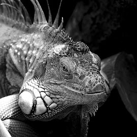 L'oeil de l'iguane by Gérard CHATENET - Black & White Animals