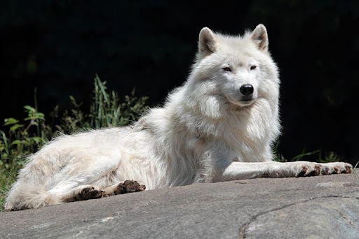 Arctic wolf Wallpapers HD FREE