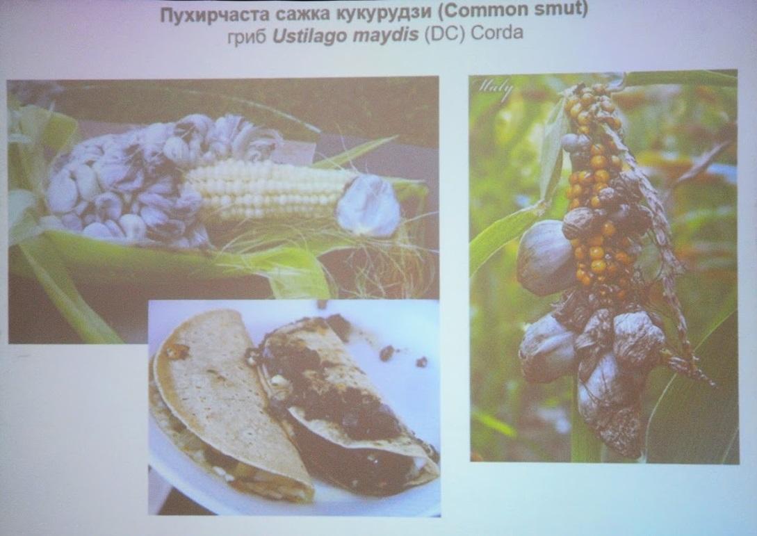 Пухирчаста сажка кукурудзи
