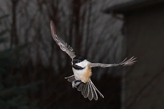 Photo: #BirdPoker Wingspans curated by +Phil Armishaw  My first attempt at capturing in-flight songbirds with flash. This is a difficult thing to get right. After trying it I'm even more impressed with the ones that can capture those amazing BIF flash shots. I suppose I could have chosen a slower bird to start with... ah, but it's all part of the challenge.
