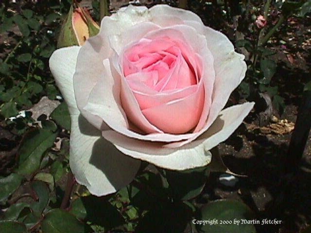 розовая роза Admired Miranda