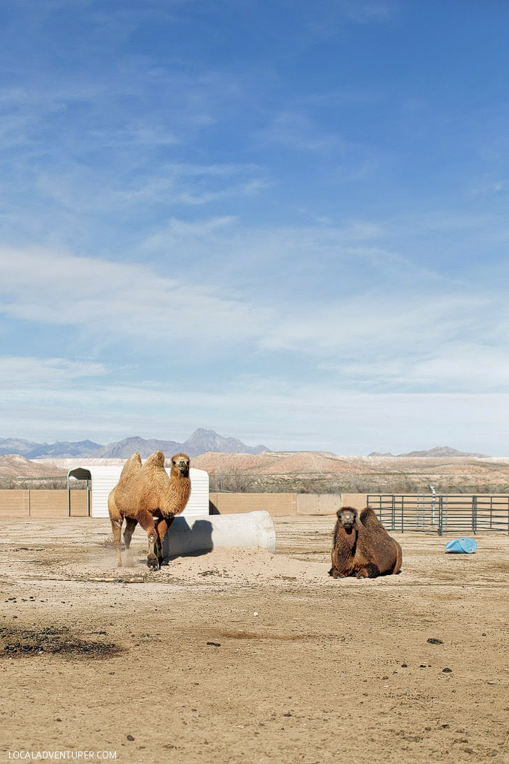 Bactrian Camels.