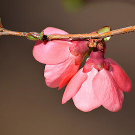 Spring is in the Air by Shawn Thomas - Flowers Flower Buds ( bush, bloom, pink, spring, blossom,  )