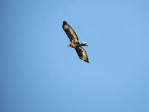 Photo: Priorslee Lake Really great light on this Buzzard – an adult: just the one dark band near the tip of the tail. (Ed Wilson)
