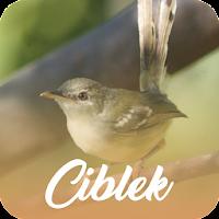 Master Kicau Ciblek Offline Download Apk Free For Android Apktume Com