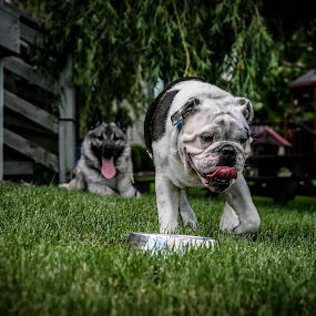 Cousins by Maria Sicilian - Animals - Dogs Running ( english bulldog, elkhoung, dogs, grass, green, running, norwegian elkhound, playing, bulldog, norwegian, thirsty, puppy, cousins, english, hungry, green grass,  )
