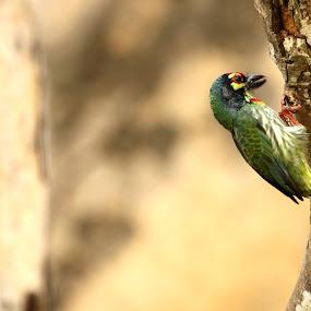 Coppersmith Barbet by Shovan Sam - Animals Birds ( canon )