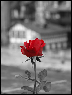 Rosa di Berna di mattefonta