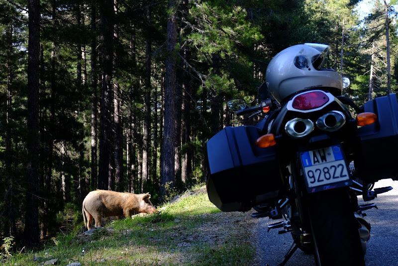 Corsica wild pigs !  di Jonny1984