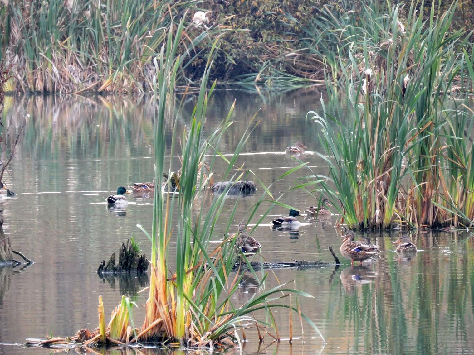 картинки озеро и камыши с утками отзывам вас