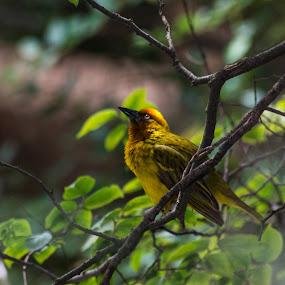 Weaver 3 by Eric Klein - Animals Birds