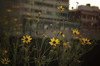 Photo: Wild flowers and buildings. High Line Park.   Chelsea, New York City.   View the writing that accompanies this post here at this link on Google Plus:  https://plus.google.com/108527329601014444443/posts/Z2yWnMAaMZy  View more New York City photography by Vivienne Gucwa here:  http://nythroughthelens.com/