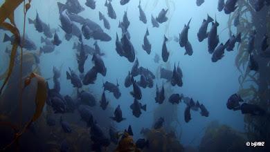 Photo: School of Blue Rockfish