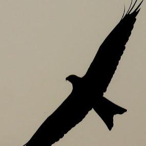 Fly High........ by Dipan Chaudhuri - Animals Birds