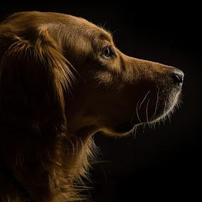 Profile View by Jessica Meckmann - Animals - Dogs Portraits ( saberstrip, strobist, dog, portrait, animal )