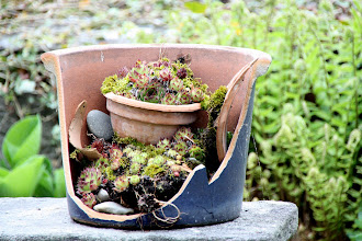 Photo: Day 34 - Succulents in Someone's Garden