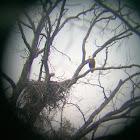 Northern Bald Eagle