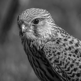 Kestrel by Garry Chisholm - Black & White Animals ( bird, nature, wildlife, prey, raptor )