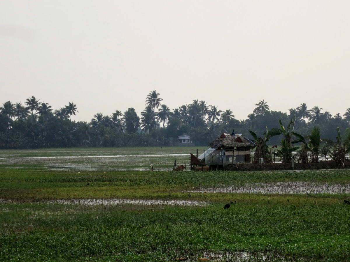 India. Kerala Motorbike Road Trip. Rice fields, Kumarakom
