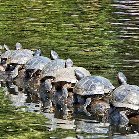 Conga line by Brenda Baird - Animals Reptiles (  )