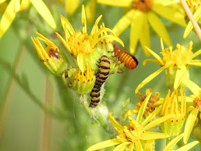 Photo: 18 Jul 13 Priorslee Lake: And the underside of the same species sharing a Ragwort with a Cinnabar caterpillar. (Ed Wilson)