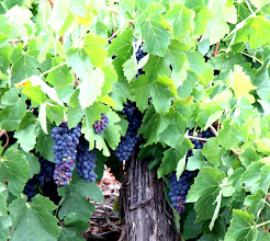 Photo: Year 2 Day 225 - Plenty of Fruit on the Vines