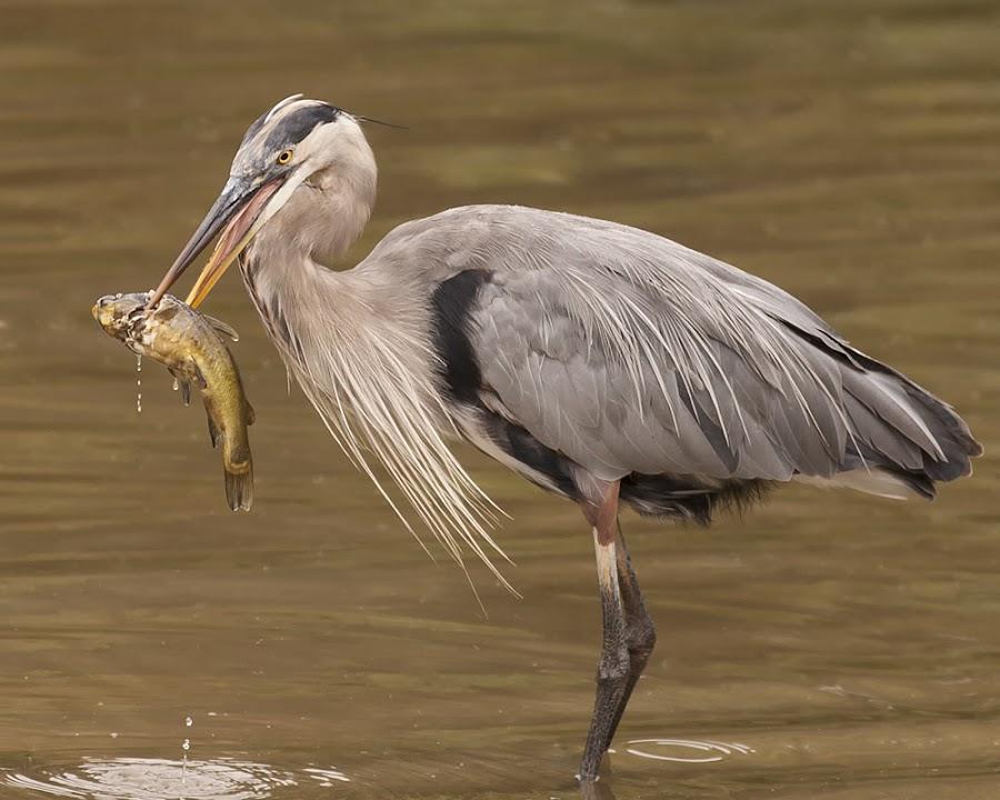 Dinner by Patrick Morgan - Animals Birds ( bird, nature, wildlife, heron )