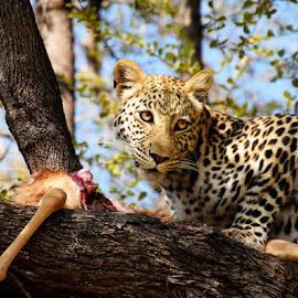 by Ava Kjos - Novices Only Wildlife ( botswana, cat, afrca, safari, leopard )