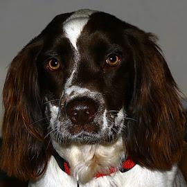 Maxie by Chrissie Barrow - Animals - Dogs Portraits ( springer spaniel, pet, white, fur, ears, brown, dog, nose, portrait, eyes )