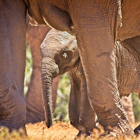 Protection by Anne-Marie  Fuller  - Animals Other Mammals ( big 5, nature, elephants, nature up close, nature and wildlife, baby elephant, wildlife,  )