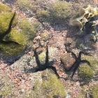 Reef flat brittle star