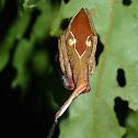 Rolled-Leaf Spider