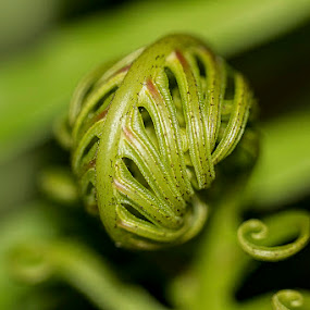 Starting to grow by Sergio Yorick - Nature Up Close Leaves & Grasses ( fern, nature, green, leaf, close up,  )