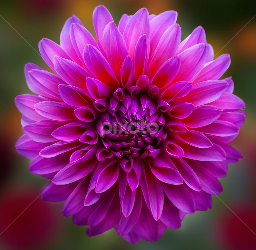 by Carl Sieswono Purwanto - Flowers Single Flower ( canon, lila, dahlia, hamburg )