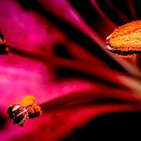 Lilly's Loot by Glen Sande - Flowers Single Flower ( pentax k5, macro, flowers & plants, pentax 77mm limited f1.8, pentax, raynox dcr-250 )