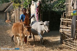 Photo: Village life, woman taking cows for feeding.