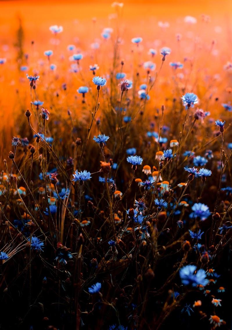 Tramonto tra Camomilla e fiorellini di prato di phrp